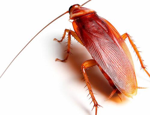 American Cockroach – Periplaneta americana